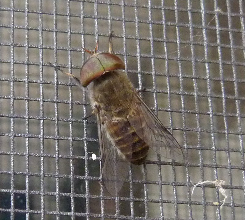March Fly Tabanidae 2