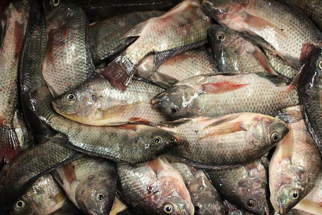 Tilapia for sale at a fish market in Khulna, Bangladesh. Photo by Mohammad Mahabubur Rahman.