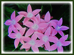 Light pink flowers of Pentas lanceolata (Egyptian Star-cluster, Egyptian Star, Star Flower, Star Cluster, Pentas) with white centers, 30 March 2017
