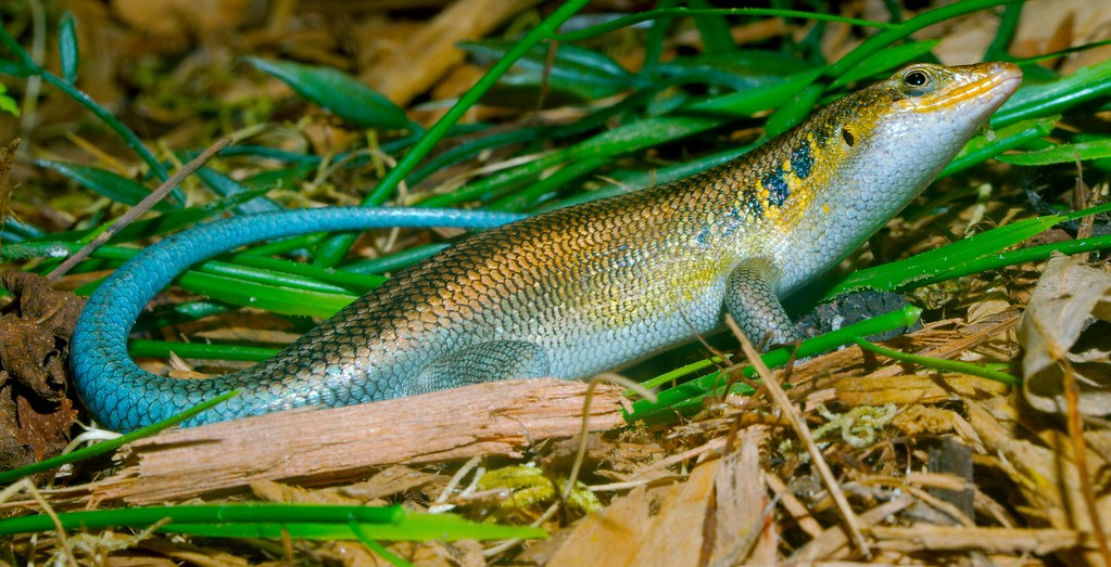 Blue Tailed Skink_8
