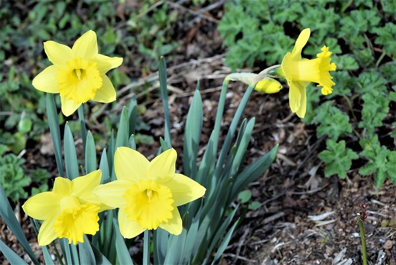 Daffodils 21.03.2017