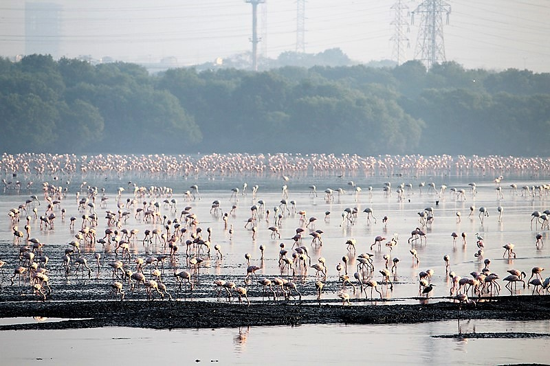 """Flamingos are the main attraction here. Asif Khan from the BNHS who conducts the walk says that the highly polluted sewage and heavy metal contamination trigger the process of eutrophication that helps the growth of the blue green algae in the mudflats that get exposed during the low tide. The lesser flamingos feed on these algae while the greater flamingos feed on small crustaceans found in the mud. """"It is the carotenoids in the algae that give the famous pink colour to the lesser flamingos who get a flushed pink colour after feeding on the algae. They  are the 'pinkest' in March and April,"""" he informs. """"It is not yet known why the flamingos are attracted to Sewri; it could be the blue green algae that they thrive on,"""" he adds."""