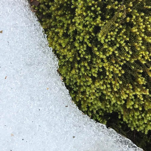 Moss and snow along the W&OD trail. Yes, I went for an actual walk! I wish I knew the name of this moss - bryophytes are tricky. #suzimandyphotochallenge #naturephotooff #unfiltered #moss #snow #nature #naturemacro #naturephoto #naturephotography #naturep