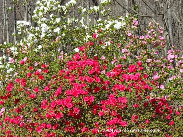 Early Azaleas at From My Carolina Home