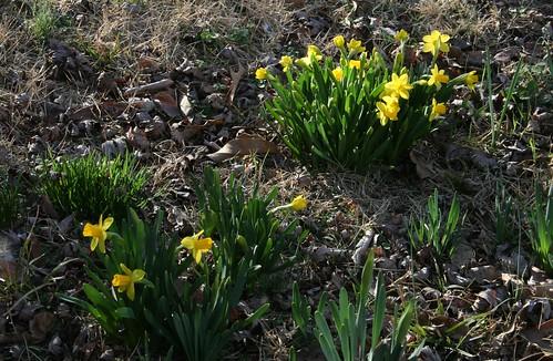 Daffodil 'Tete-a-Tete'