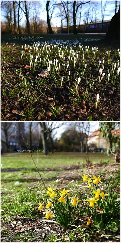 spring flowers narzisse krokus