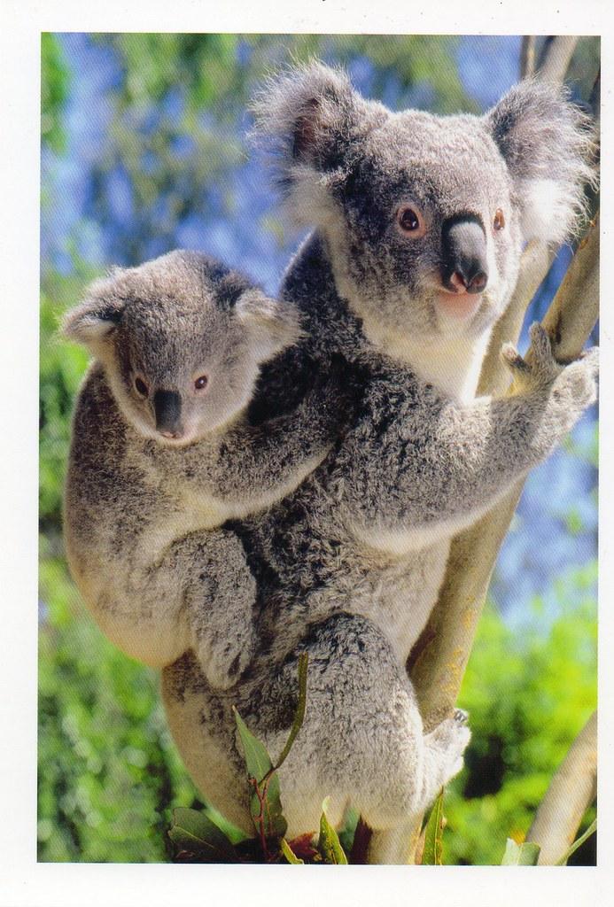 AU-348551 Koalas, Australia  | Postcrossing Postcard ID: AU