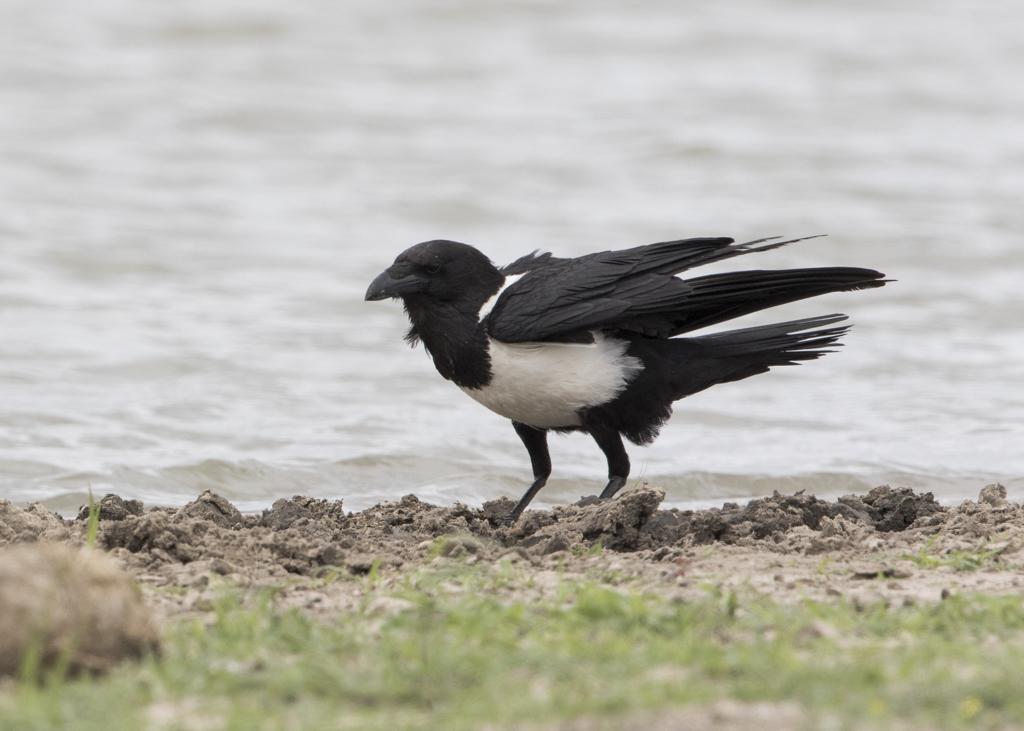Pied Crow  Corvus Albus