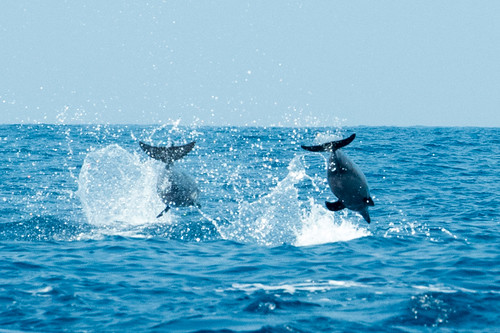 Spinner dolphins taken by Janis Parker