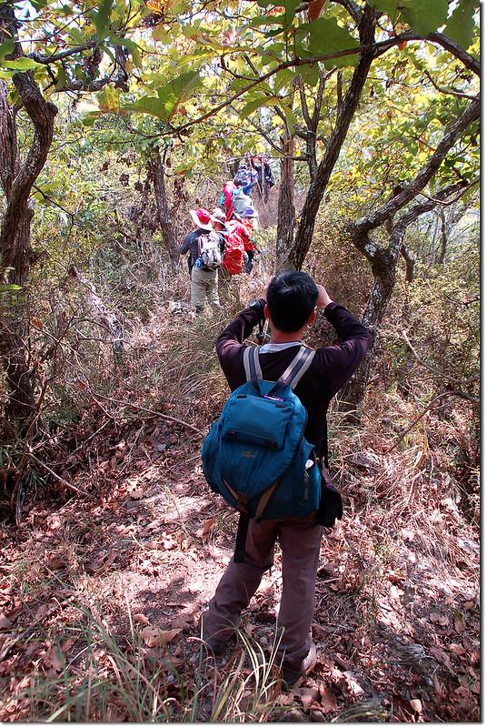 朗吾呂山槲樹林 8