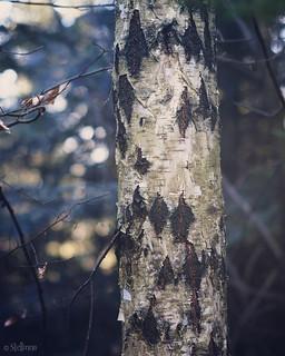 Harlequin Birch