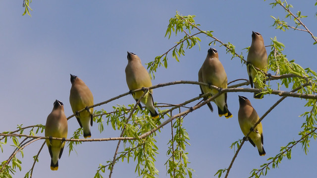 Cedar Waxwings in Willow Tree - 2