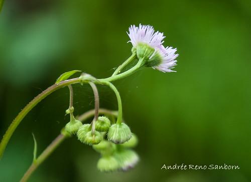 Philadelphia fleabane (Erigeron philadelphicus)