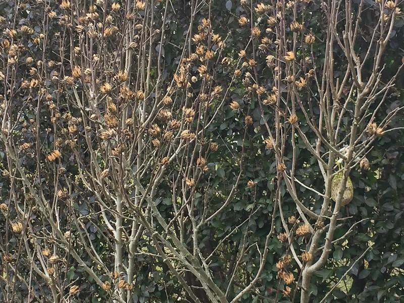 Hibiscus seeds pods