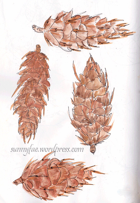 fir cones sketches