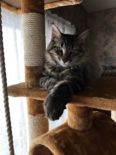 Dipper on the cat tree