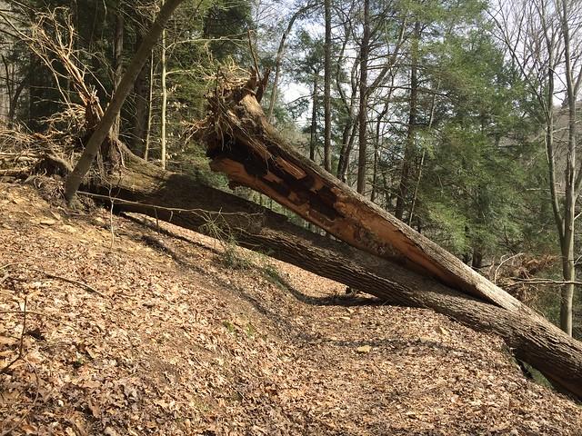 Split fallen tree