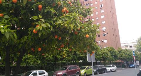 Naranjas en Nervión