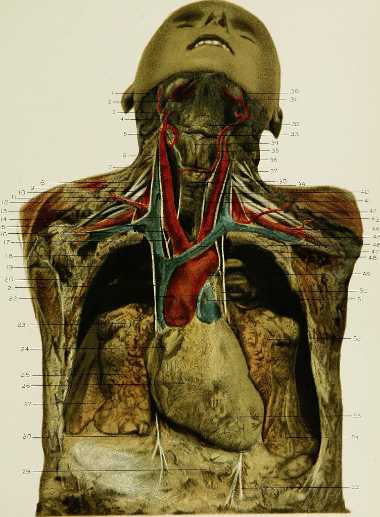 Image From Page 370 Of Regional Anatomy In Its Relation T Flickr