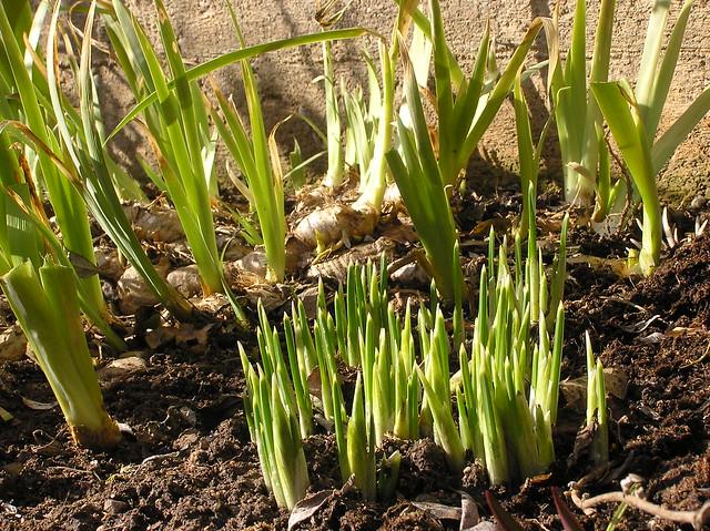 Iris reticualata 'Harmony'