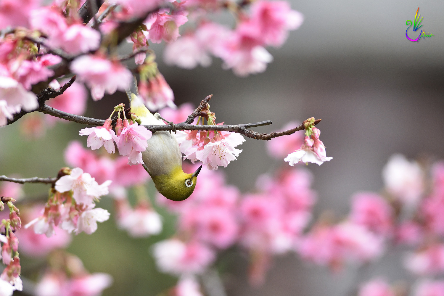 Sakura_White-eye_1153