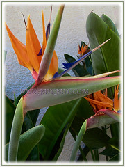 The charming Strelitzia reginae [Crane Flower/Plant, Bird of Paradise, Bird of Paradise flower/plant, Crane-leaved Strelitzia] with its exotic flowers, 14 Aug 2014