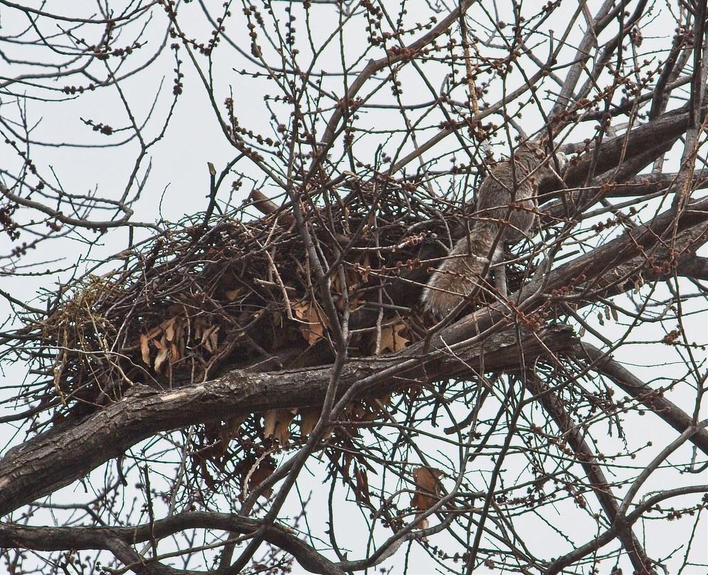 A squirrel investigates hawk nest