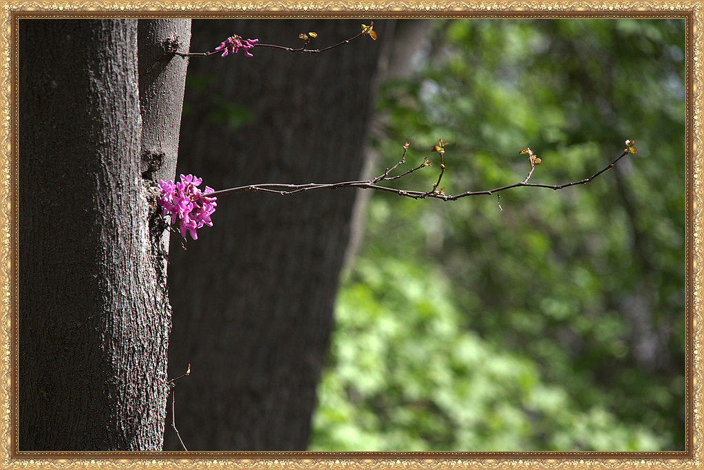 una rama de cercis