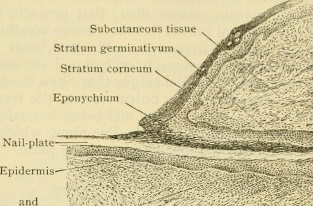Image From Page 417 Of Human Anatomy Including Structure Flickr