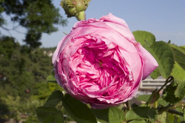 "Rosa centifolia ""Cristata"" (Kirche 1827)"