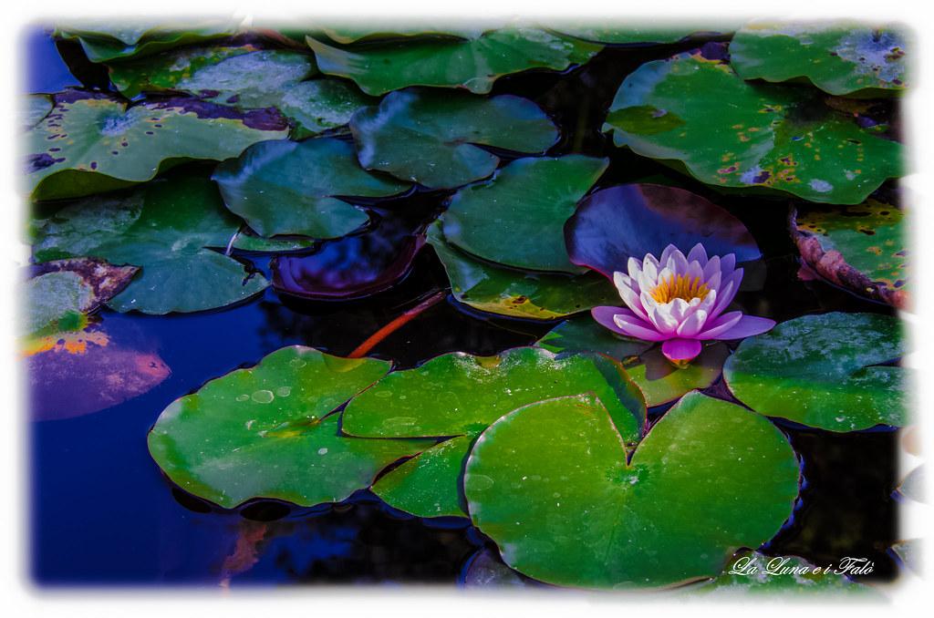 By La Luna E I Falo Come Le Ninfee Di Claude Monet.... | By La Luna E I Falo