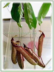 The gorgeous Nepenthes x hookeriana (Hooker's Pitcher-Plant, Tropical Pitcher Plant, Monkey Cup), 9 Nov 2011