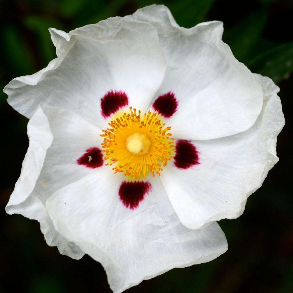 Fleur Blanche Marie Daniele Murail Flickr