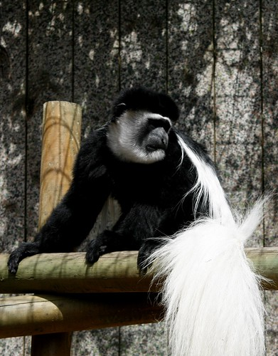 Colobus Monkey | by ajwalters