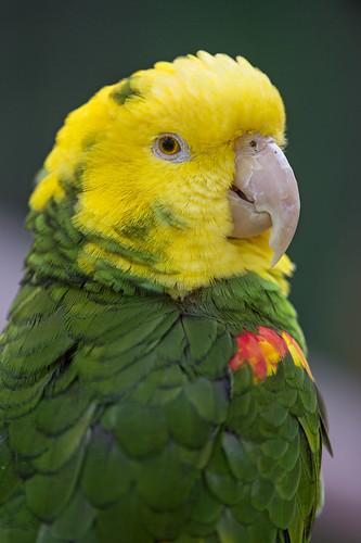 small yellow and green parrot portrait of a nice yellow