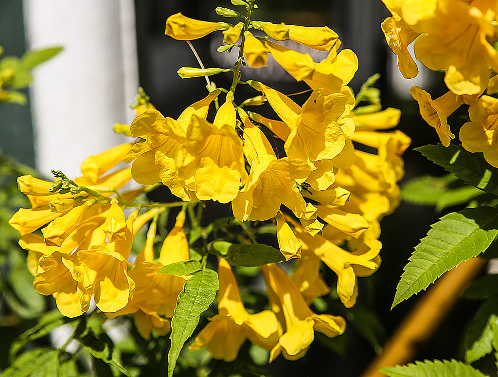 Yellow Jessamine This Yellow Flowering Vine Gelsemium Sem Flickr