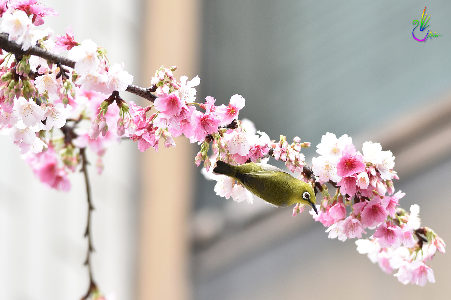 Sakura_White-eye_0162