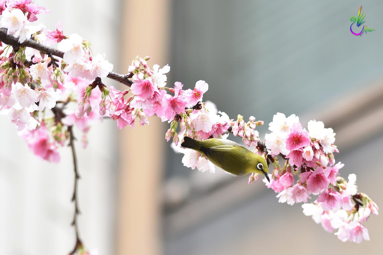Sakura_White-eye_0162