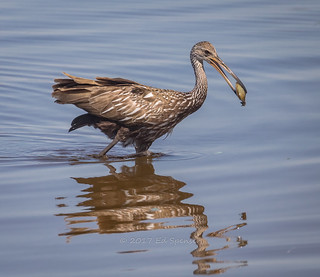 Limpkin with a clam. Forgot he eats snails | by spensered