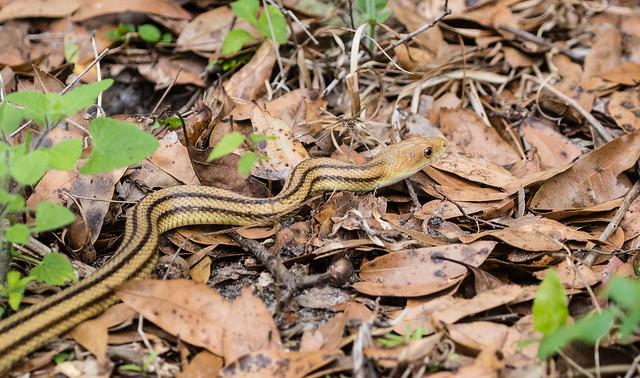 Yellow rat-snake