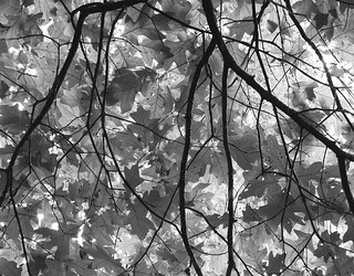 Oak Leaves | by Lana Gramlich