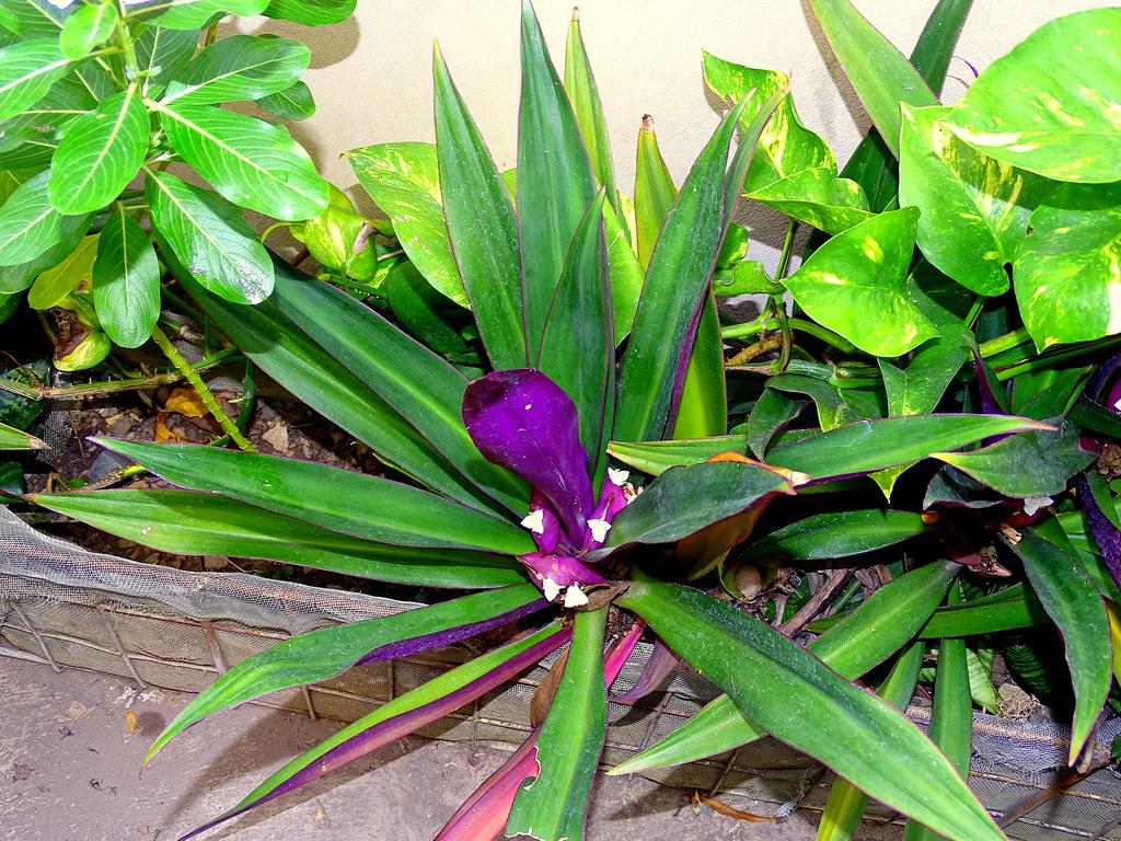 Maguey o agave: conoce sus increbles BENEFICIOS y usos 97