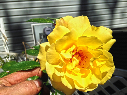 The Yellow Roses of Lake George - s
