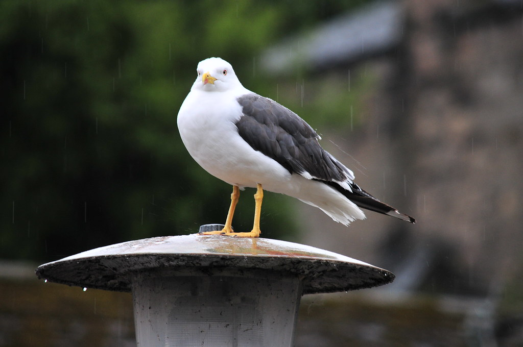 sea gull in the rain