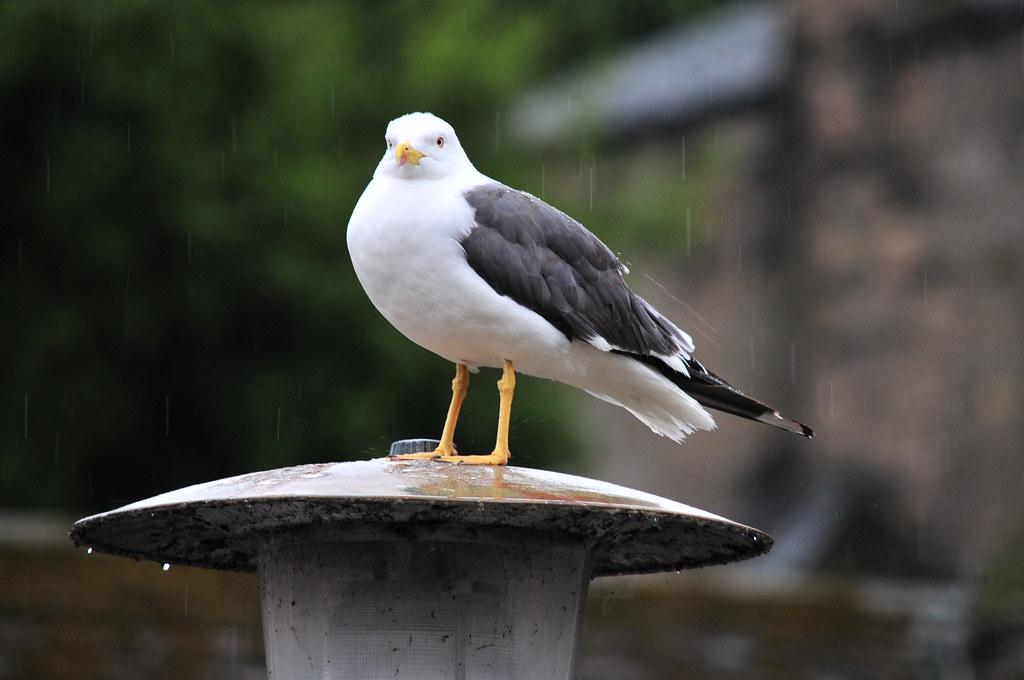 sea gull in the rain