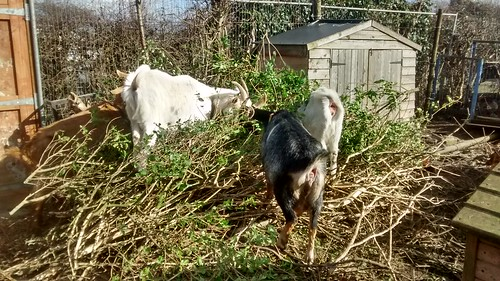 goats and privet Mar 17 (2)
