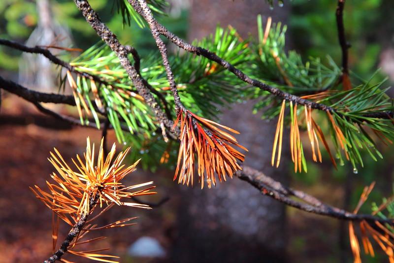 IMG_1644 Lodgepole Pine