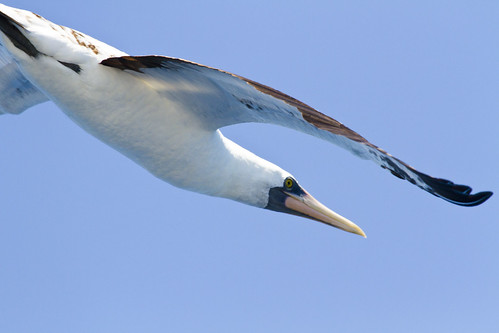 Subadult Nazca Booby (possible Masked/Nazca hybrid) | by christopheradler