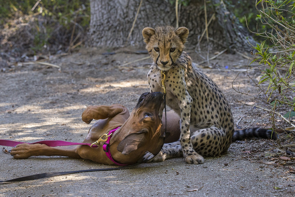 puppy companion comforts cheetah cub recovering from surge flickr