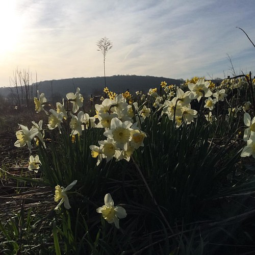 Daffs #oftheday #earlymorninglight